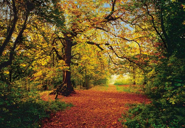 Forest murals wall murals to buy online for Autumn forest wallpaper mural